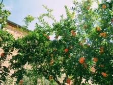 Pomegranate trees.